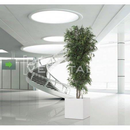 Plante Stabilisée Eucalyptus Nicoly droit Création Originale de Déco Végétale